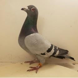 (♂️) Auction RO0707444 - Fam. Bacalu ( Frate de cuib  TURNCOAT - castigator AUTO, Derby  Arona Tenerife )